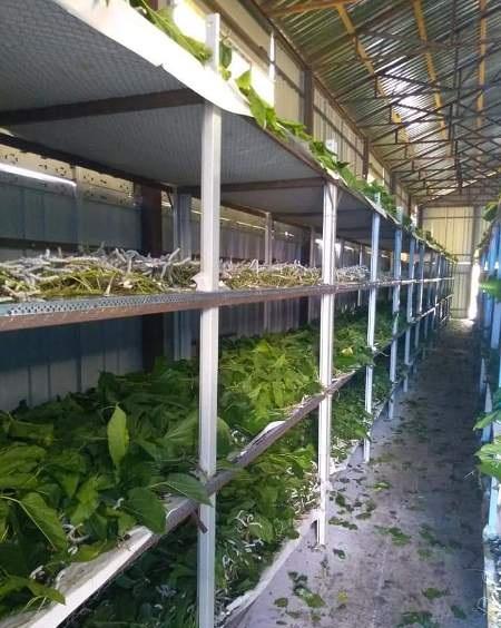 Bu il AMEA Şəki Regional Elmi Mərkəzində 700 kq barama istehsal olunub